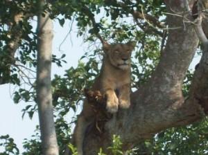 Tree Climbing lioness in ishasha.