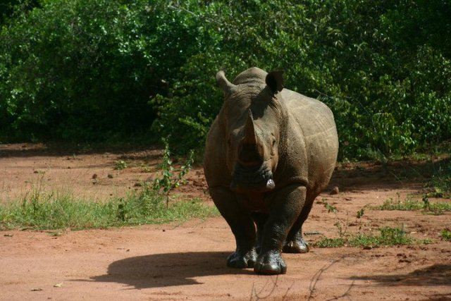 Rhino tracking uganda - Best Day tours and activities from Kampala
