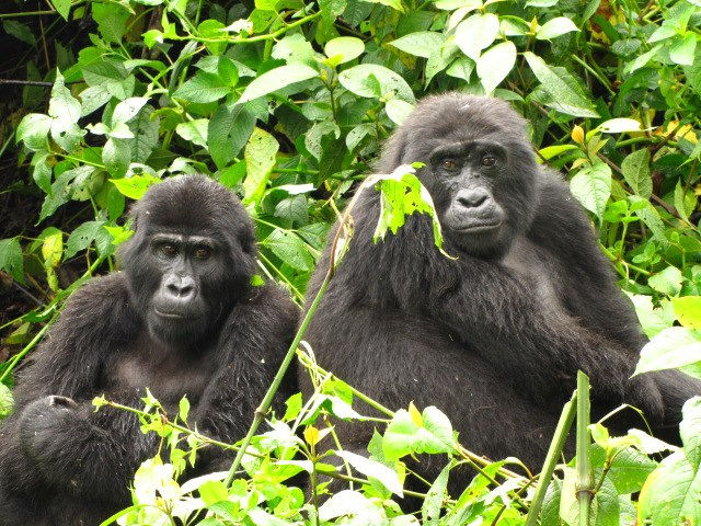 Gorillas in Bwindi - Best Day tours and activities from Kampala