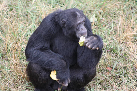 A chimp at the Island - Best Day tours and activities from Kampala