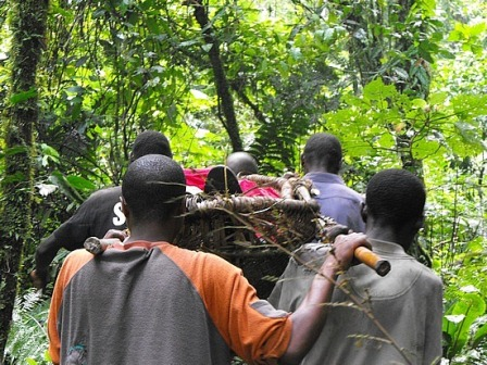 Rescued client in Bwindi forest on a stretcher.