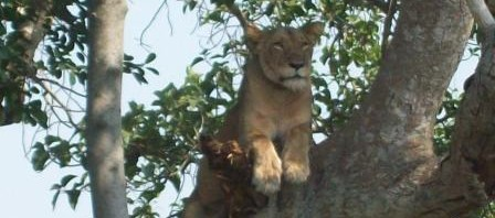 Tree lioness of Ishasha Plains - Best Day tours and activities from Kampala
