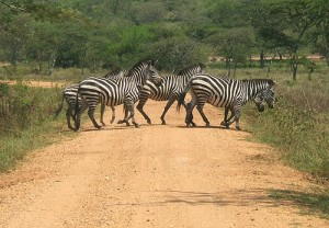 Zebras in Lake Mburo National Park - Best Day tours and activities from Kampala