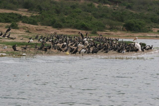 A crowd of birds of different species including Pelicans, Cormorants, Ibis, Skimmers, Gulls, Storks, Terns, etc