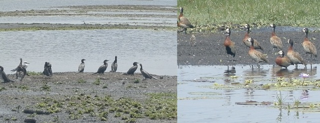 birds on mudflats in Makanaga Swamp - shoebill birding