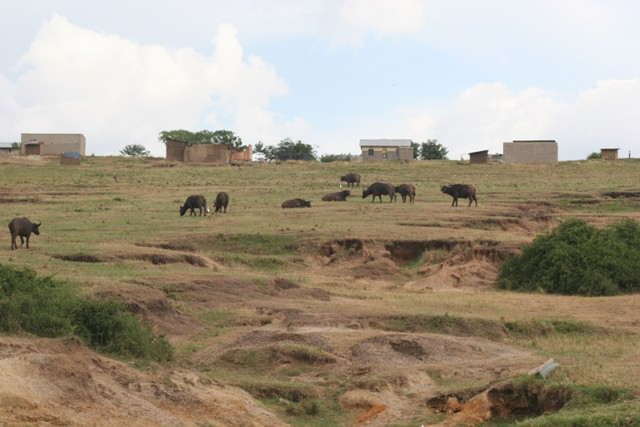 Buffaloes and homesteads of the Kazinga fishing village