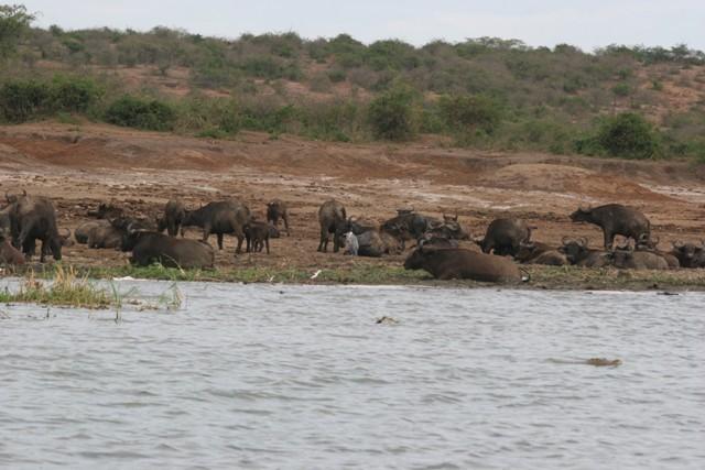 Buffaloes busking on the banks of the Kazinga Channel