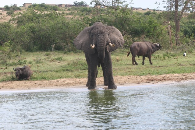 An Elephant drinks from the Kazinga Channel, while the Buffalo in the background grazes