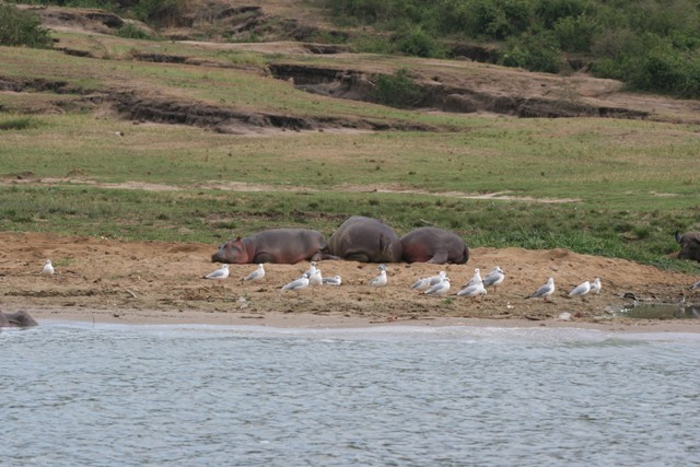 Hippos too have a moment of out the water to feel the soothing sands of banks of the Kazinga Channel