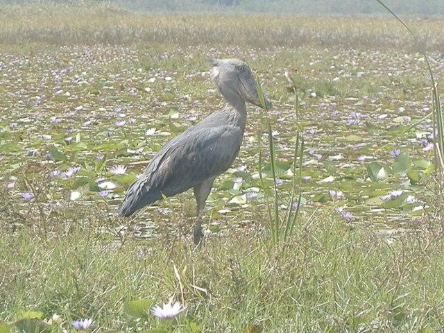 Shoebill at Makanaga Swamp - shoebill birding