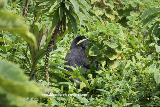 Mountain Gorilla sighting on Bisoke Hike