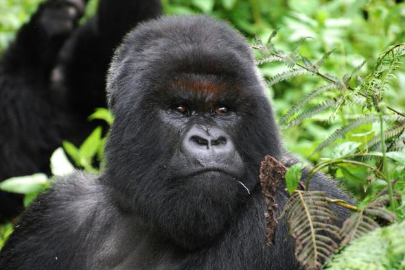 Cantsbee, Famous Dian Fossey's Gorilla dies.