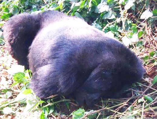 Ndahura Gorilla silverback dies at 28 - Oldest Gorilla at Bwindi