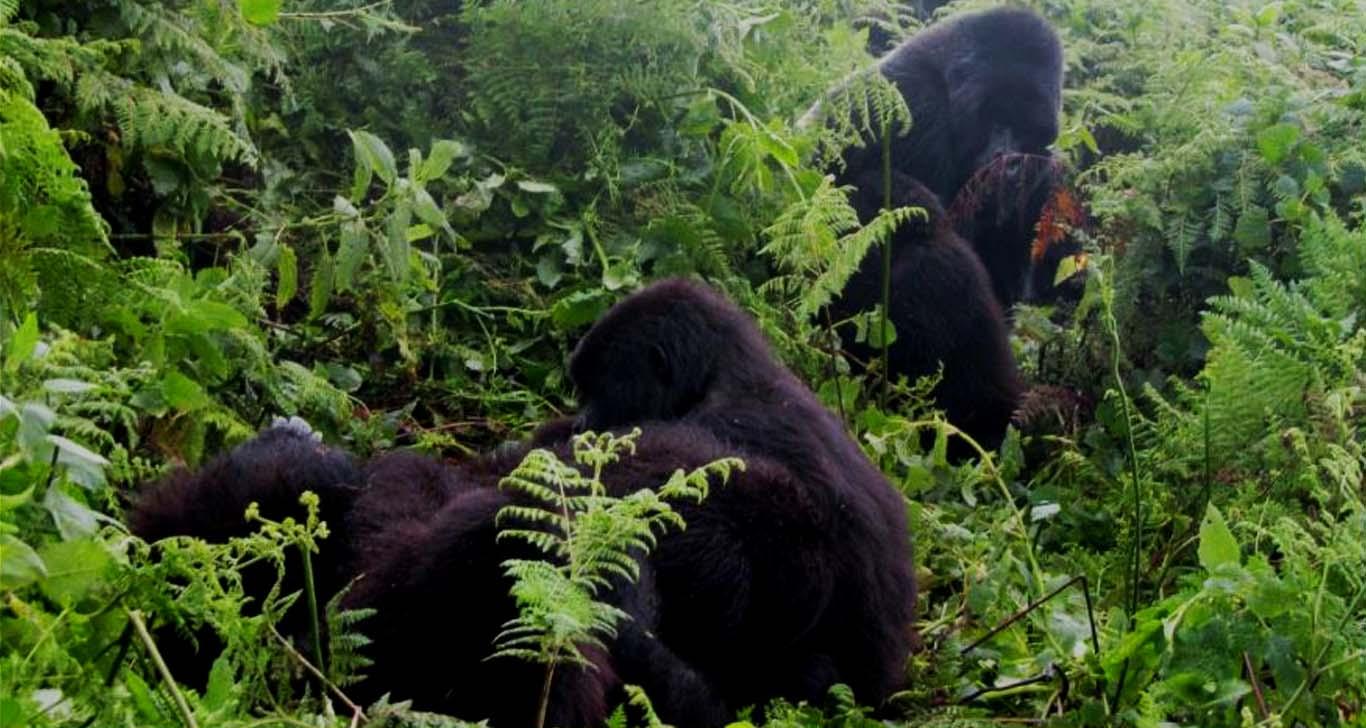 increasing-prices-rwanda-gorilla-tracking-permits