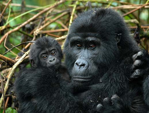Two bouncing baby gorillas-born-in-one-week bwindi impenetrable national park