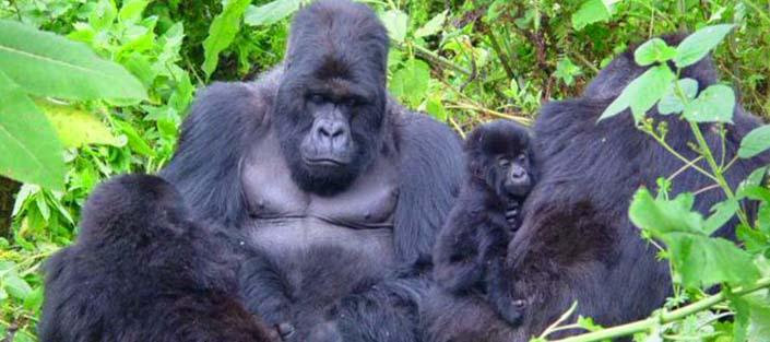 1 Day Gorilla tracking Bwindi Impenetrable National Park