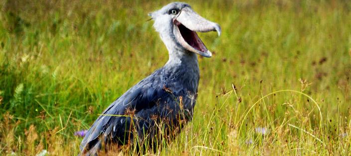 1 Day Mabamba Swamp Birding tour - Shoebill stork Uganda