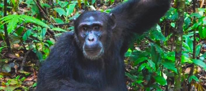 2 Days Chimpanzee tracking Budongo Forest tour - Murchison Falls national park