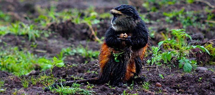 2 Days Golden Monkey tracking rwanda safari in the volcanoes national park