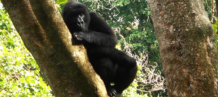 2 Days Gorilla Tracking Congo in the Virunga National Park