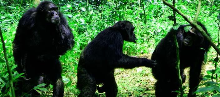 2 Days Chimpanzee tracking Kibale tour - Kibale Forest