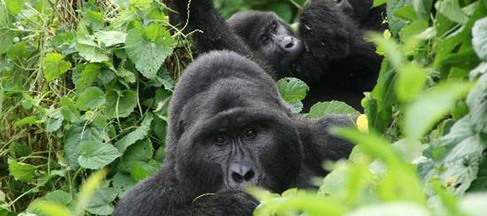 3 Days Gorilla Tracking Bwindi safari: budget Uganda gorilla tour - 3 days gorilla tracking bwindi forest safari in Uganda - 3 days gorilla trekking bwindi forest tour in Uganda