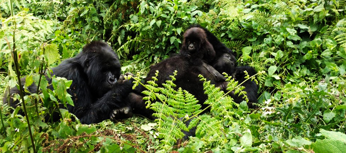 3 Days Gorilla habituation experience in Bwindi Impenetrable national park
