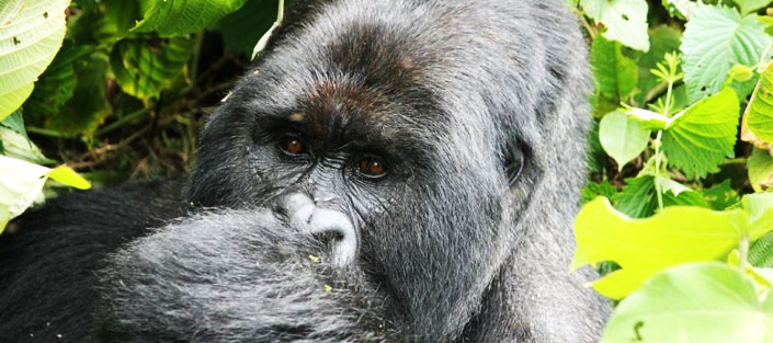 3 Days Gorilla Tracking from Kigali to Bwindi Impenetrable Forest