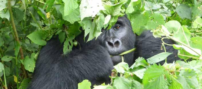 3 Days Gorilla tracking Rwanda - Volcanoes National Park (Pac Des Volacans)