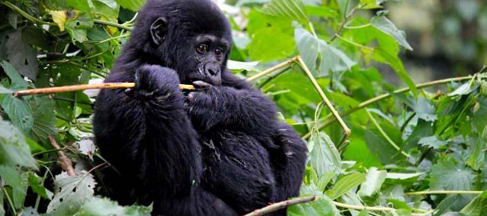 3 Days Gorilla trekking Nkuringo with Lake Mutanda and Virunga Views