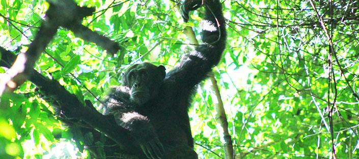 3 Days chimpanzee tracking Kibale and Queen Elizabeth safari