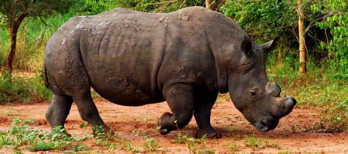 3 Days Murchison Falls safari with Rhinos and Chimpanzee tour
