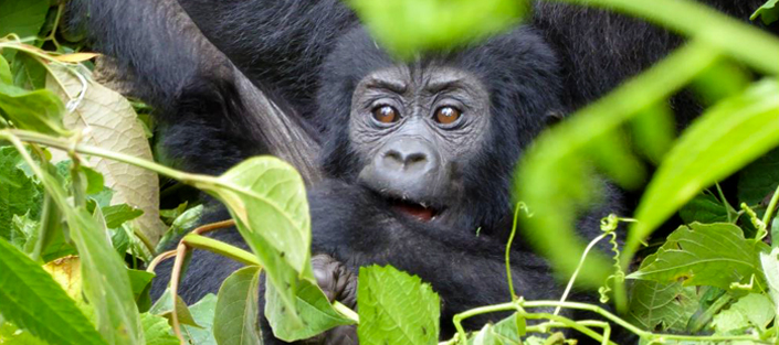 4 Days Double Gorilla trekking safari in Bwindi forest national park