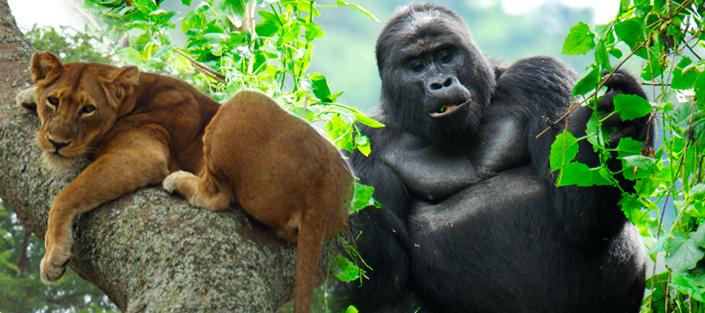 4 Days Gorilla tracking Bwindi and Ishasha tree lions tour in Queen Elizabeth