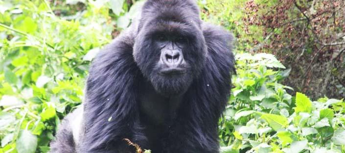 4 Days Nyiragongo Hike and Volcano Gorillas Rwanda