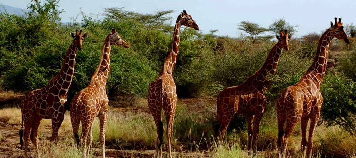 5 Days Amboseli and Tsavo wildlife safari for game viewing