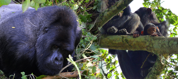 5 Days Gorillas and Chimpanzee tour in Rwanda with a great Canopy walk