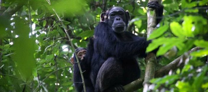 8 Days Uganda safari for chimpanzees and wildlife tour