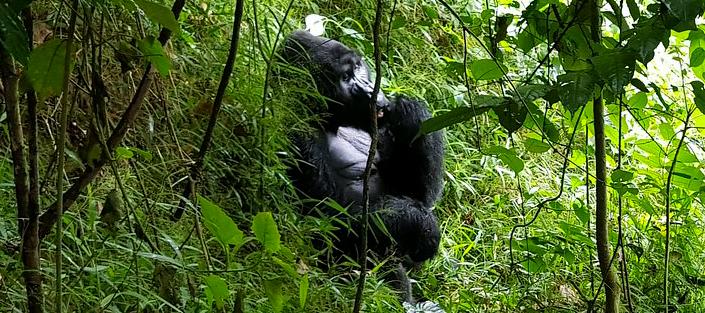 33 Days Luxury Gorilla Flying Safari to the home of Mountain Gorillas