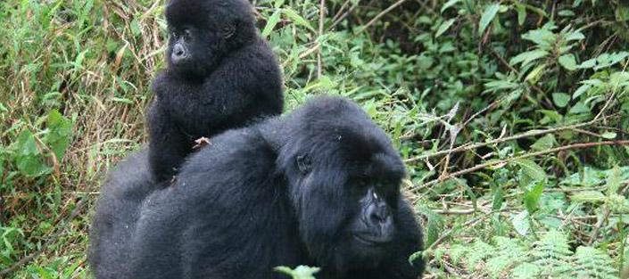 Gorilla tracking bwindi or gorilla trekking Uganda