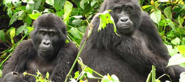 6 Days Gorilla tracking and wildlife safari - Mountain gorilla trekking | Uganda tours | Tree lions in the Ishasha plains