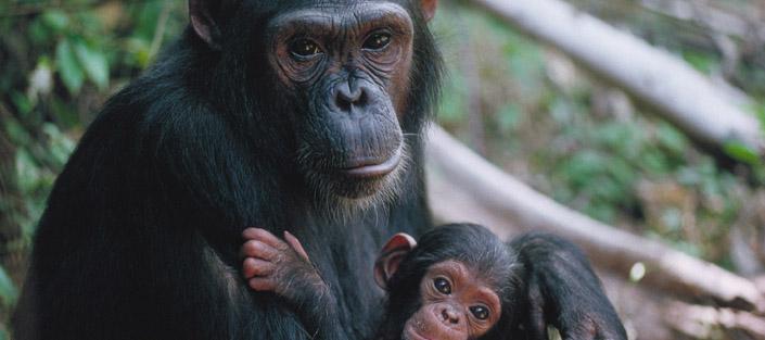 1 Day Ngamba Island chimpanzee tour - Chimp Sanctuary, Ngamba Island Chimpanzees Sanctuary