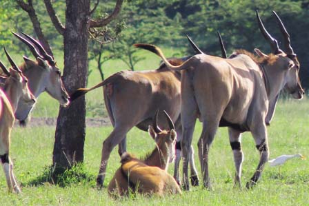 elands-uganda