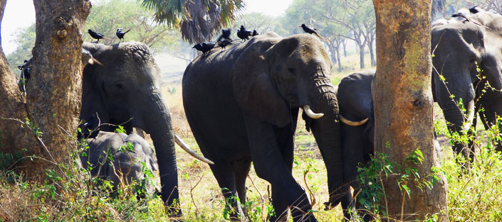 14 Days Uganda Wildlife safari through top safari destionations