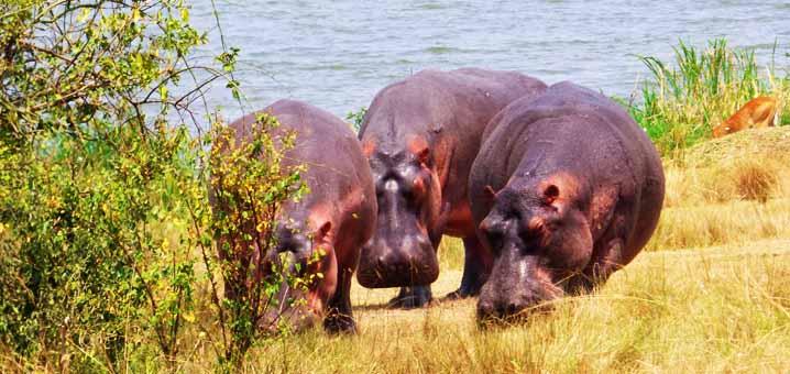 Hippopotamuses in Queen Elizabeth National Park
