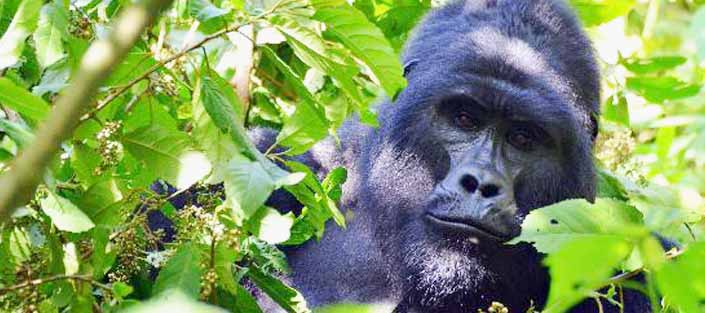 Mountain Gorillas in the Bwindi Impenetrable Forest National Park