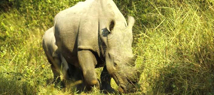 Rhinos in Ziwa Rhino Sanctuary - Uganda