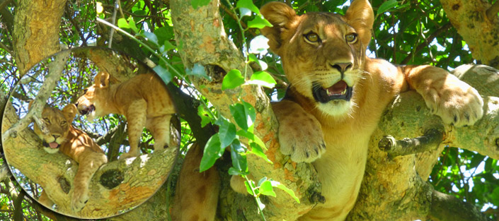 2 Days Tree Climbing Lions Tour - Queen Elizabeth National Park