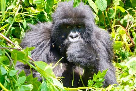 1 Day gorilla tracking bwindi - 3 Days Gorilla tracking Bwindi forest and lake Bunyonyi safari