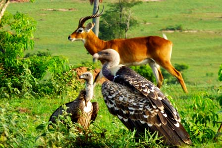 2 days murchison falls safari - Murchison Falls Safaris